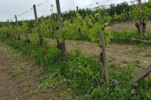 vigneti Nizza Monferrato, filari di uva
