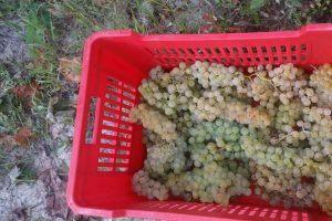 Uva Chardonnay biologica