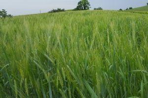 campo di grano Nizza Monferrato